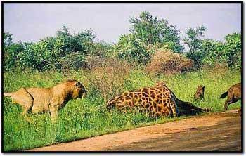 lion chasing hyena