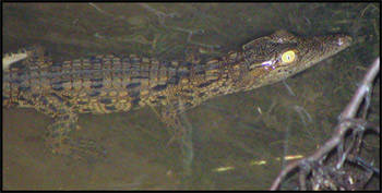 Baby Crocodile - taken on a night drive