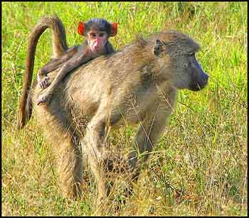 Mother and baby chacma baboon