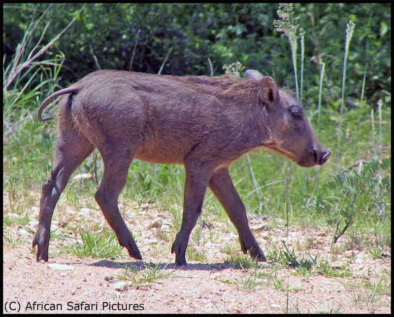 infant warthog
