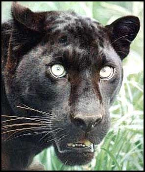 Black Leopard Picture - Not Seen In The Wild For Years - photo#36