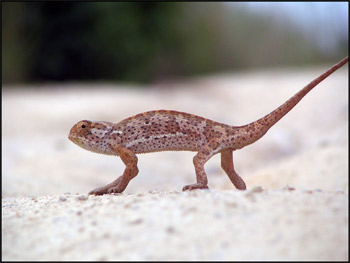 Chameleon crossing the road