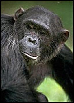 Chimpanzee picture