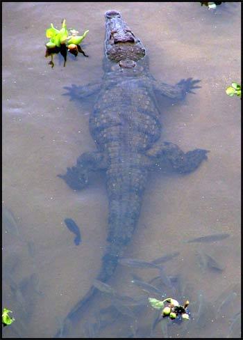 Floating Crocodile