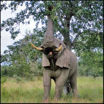 Elephant trunk in action