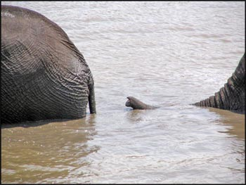 Elephant trunk in the water