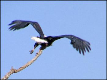 Fish Eagle lift off