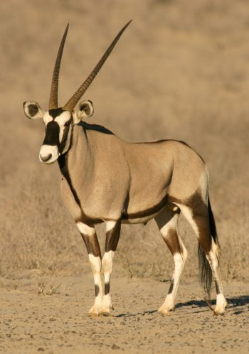 African Animals with Long Horns http://www.african-safari-pictures.com/antelope-pictures.html