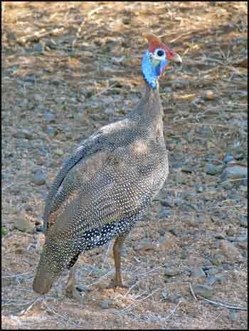 free downloading pics of helmeted guineafowl