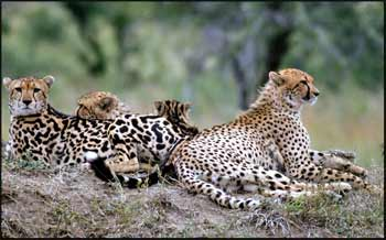 King Cheetah Family