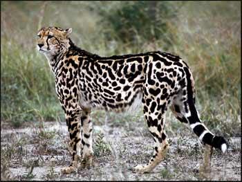 Chitas creados King-cheetah
