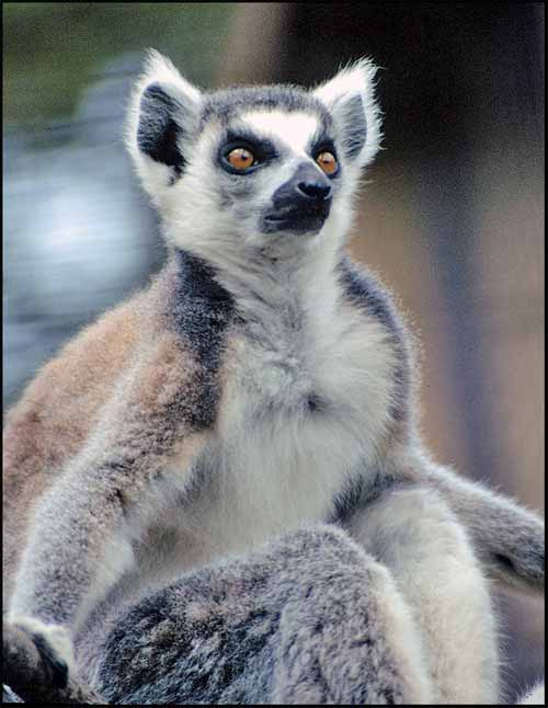 Lemur picture