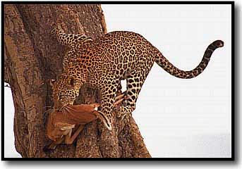 Climbing Leopard