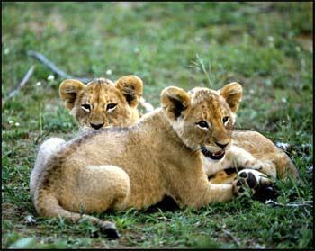 Lion Cub Pictures