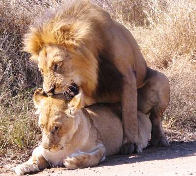 Lion mating picture