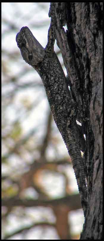 Lizard camouflaged