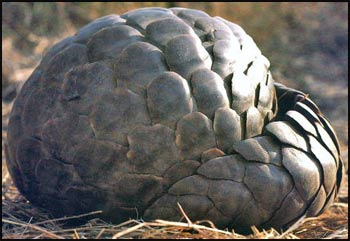 Pangolin rolled in a ball