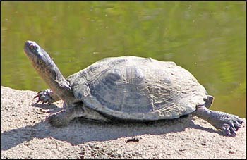 Diamondback terrapin  Wikipedia