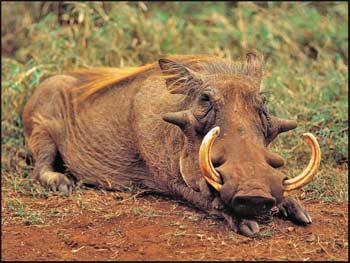 Big Warthog Tusks
