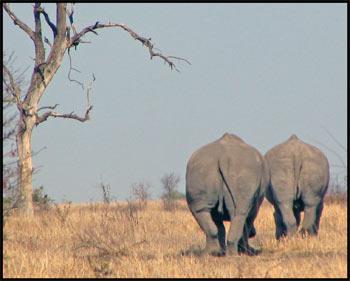 White Rhino Rear