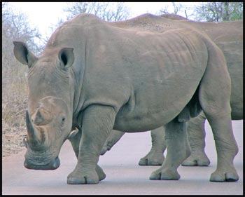 White Rhino Picture