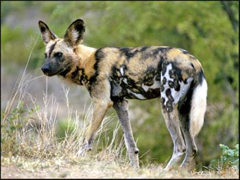 Why are African wild dogs endangered?