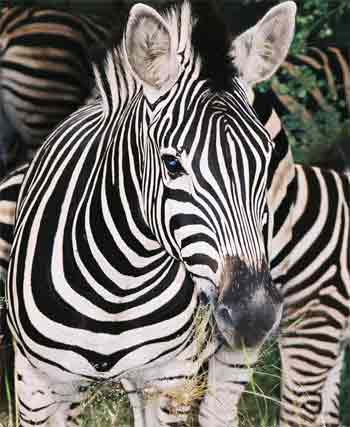 http://www.african-safari-pictures.com/image-files/zebra-picture.jpg